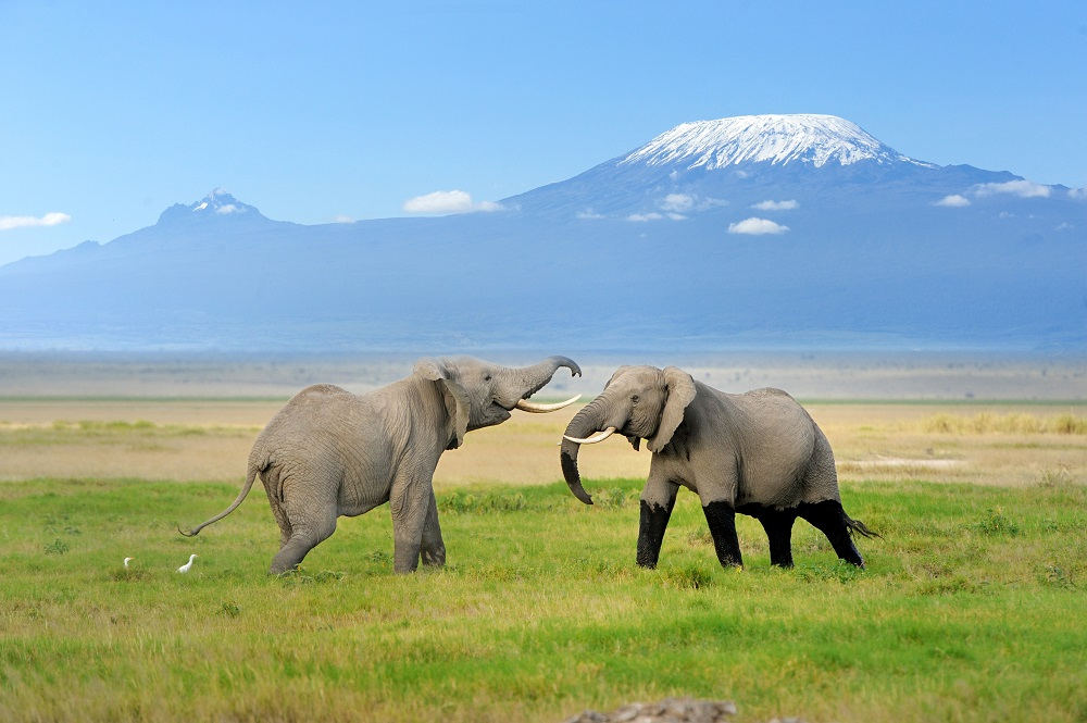 Two African elephants in front of Kilimanjaro in Amboseli National Park