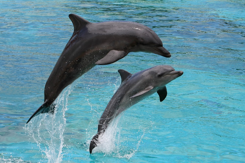 Two dolphins jumping out of the blue water in the Wasini Island Marine Park