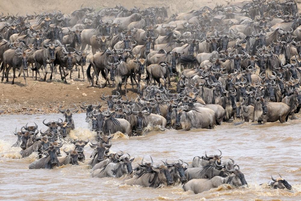 Gnus crossing the Mara river in the Masai Mara Game Reserve