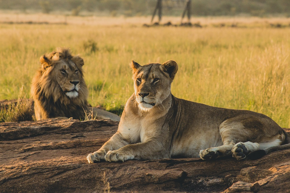 Male lion and lioness lying on savannah ground