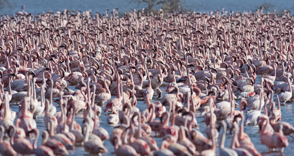 Large group of Flamingos in shallow water at Lake Bogoria National Park