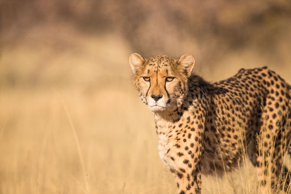 A cheetah in Lumo Wildlife Sanctuary staring at the cameraman