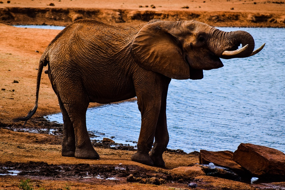 A African elephant at a waterhole in Tsavo East National Park