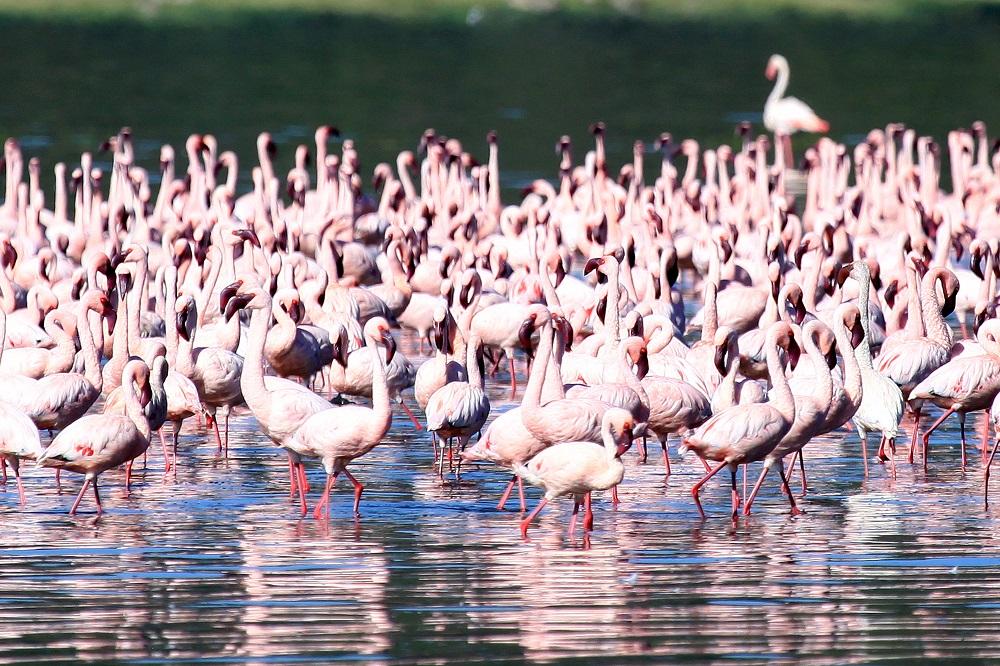 Pink flamingos in shallow waters of Lake Nakuru National Park