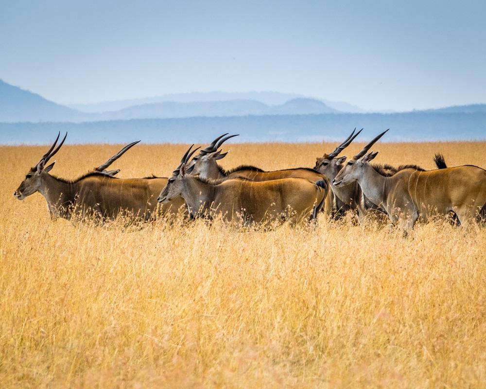 A group of bucks walking through high grass in Meru National Park