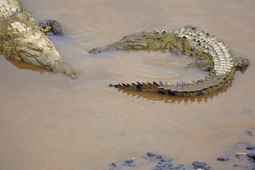 Two crocodiles in muddy waters in the Samburu National Reserve