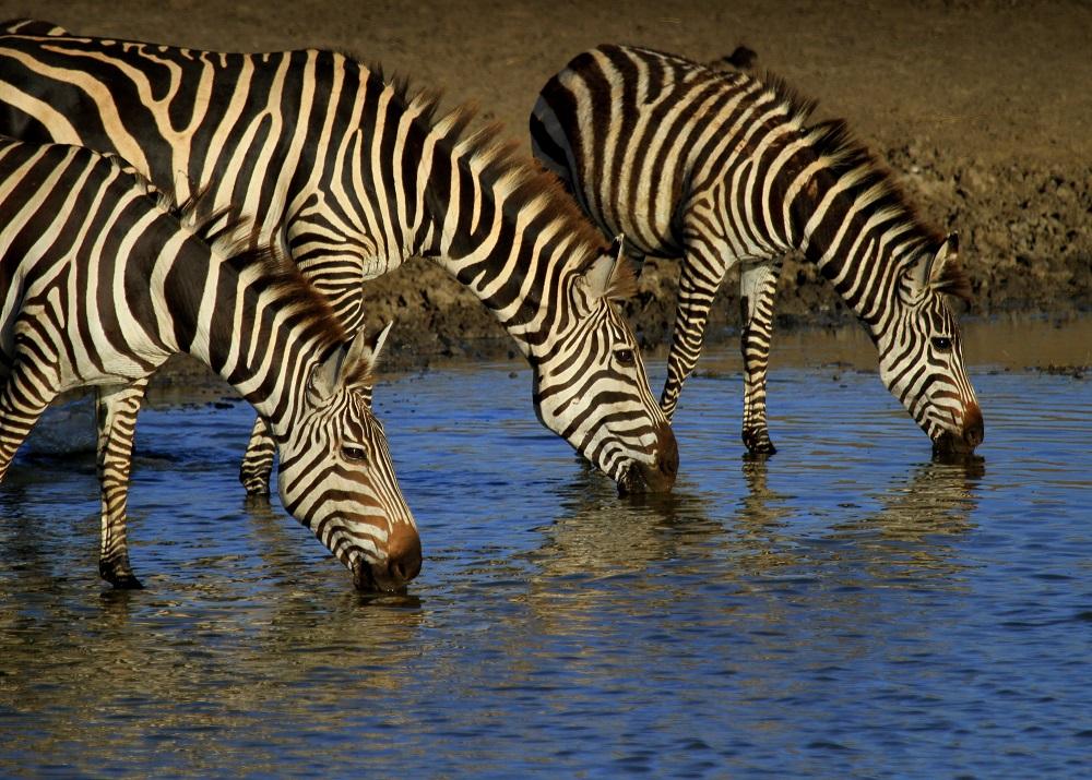 Three zebras drinking from a waterhole in Shaba Reserve, Kenya