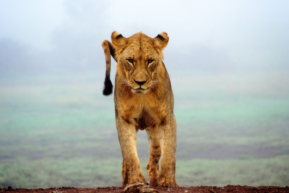 A single female lion on a hill in Tsavo West National Park